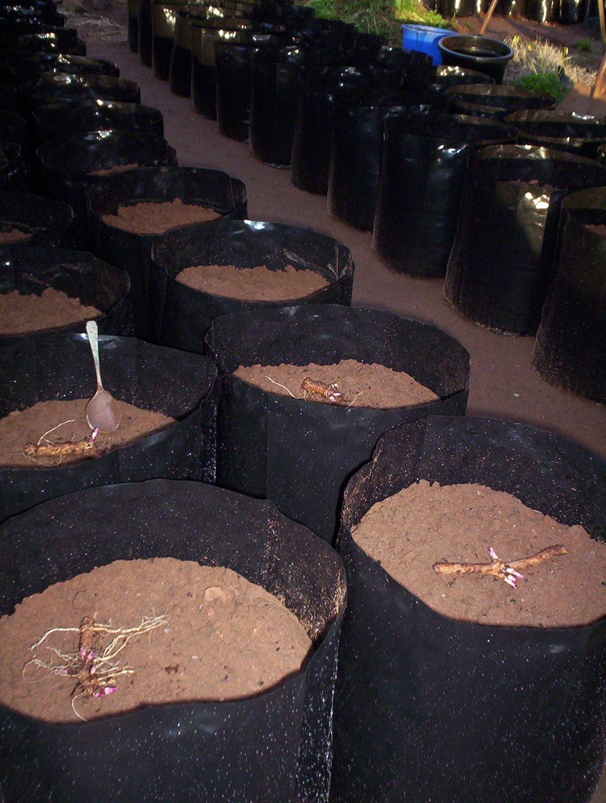 POR_2012_and_70_cluster_planting_30_June_004.jpg