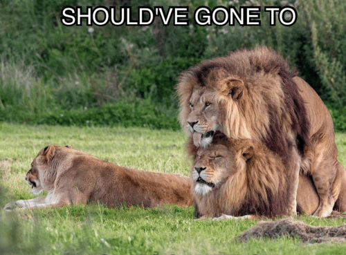 shouldve-gone-to-specsavers-blind-ass-lion-27361040.png